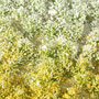 6MM SPRING YELLOW-WHITE BLOSSOM TUFTS 'SILFLORETTE'