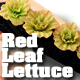 O-SCALE RED LEAF LETTUCE ROW